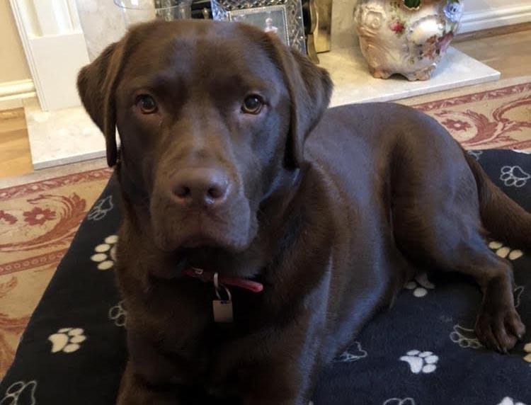 K9 Bridle Testimonial Labrador