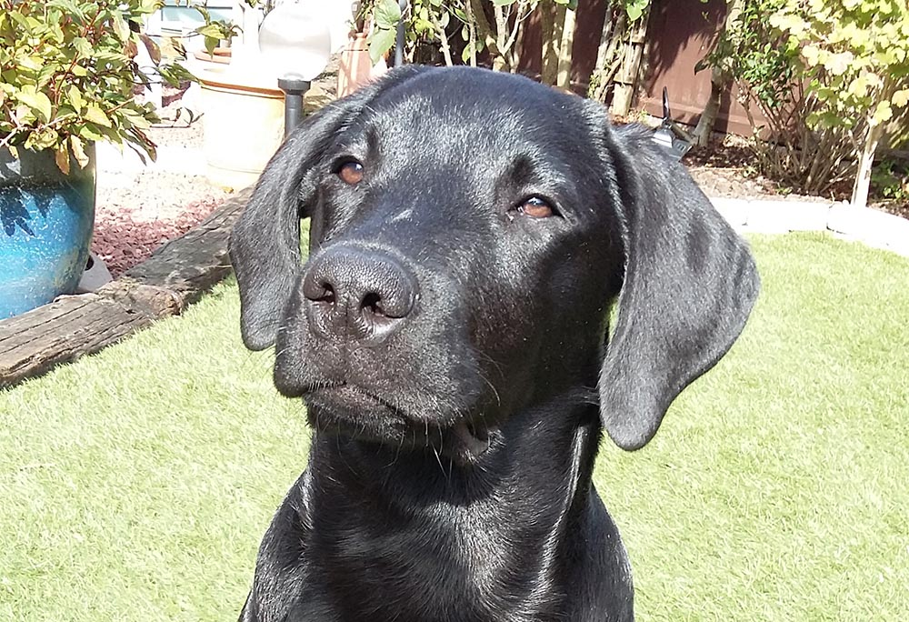 K9 Bridle Labrador review