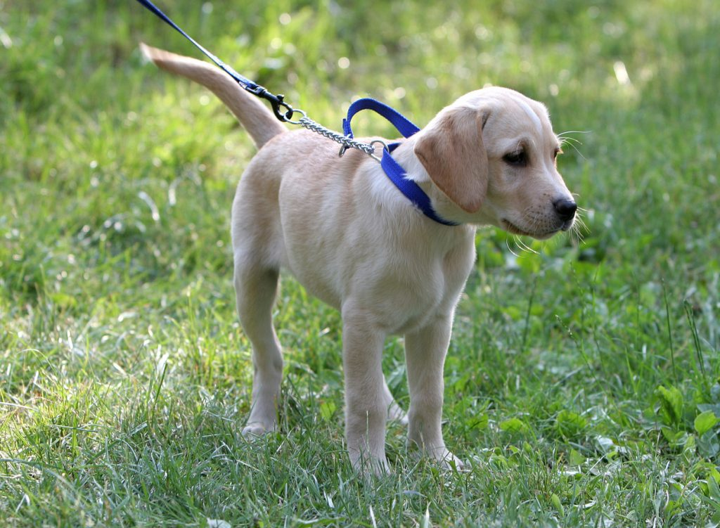stop labrador from pulling