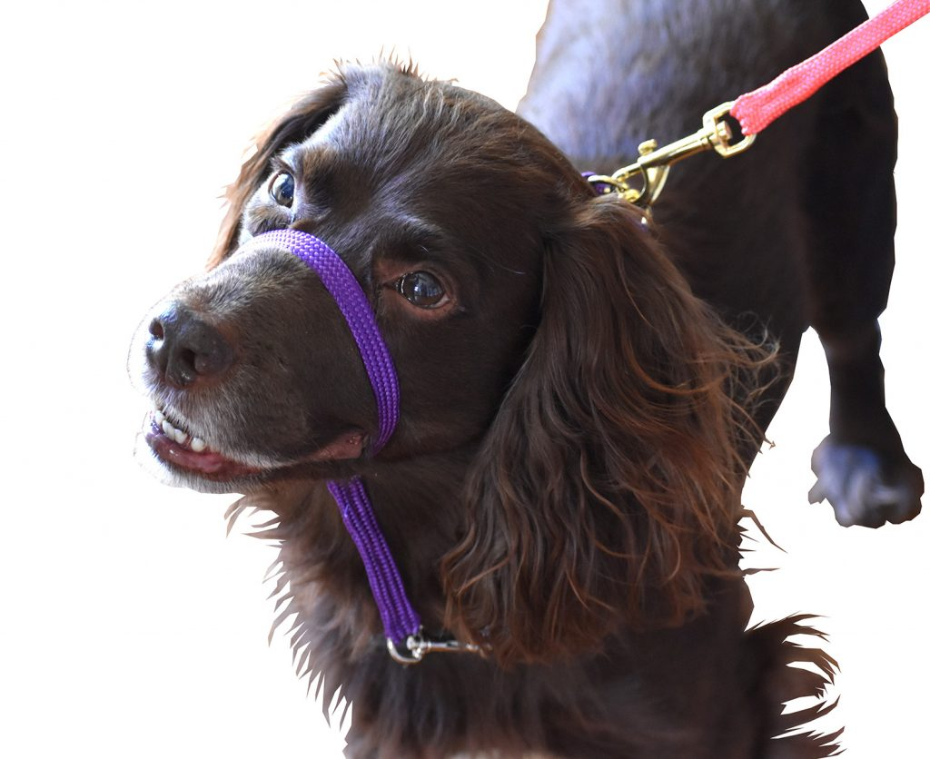 Spaniel wearing a headcollar