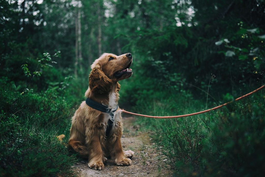 cocker spaniel to walk on a lead