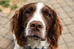 spaniel to walk on a lead